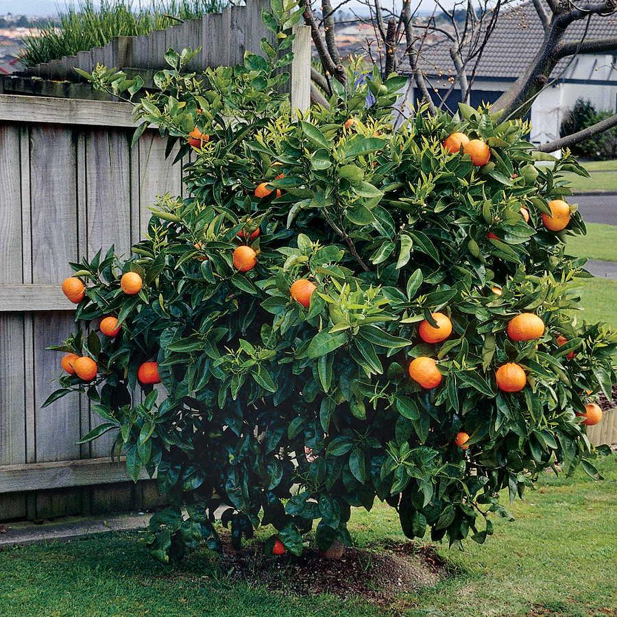 Как вырастить апельсиновое дерево из косточки, фото растения видео