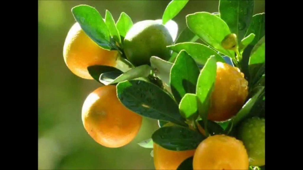 О апельсиновом дереве: описание, скрещивание, выращивание и дальнейший уход