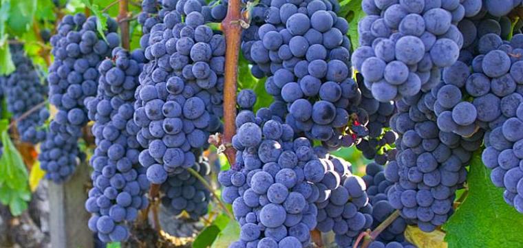 Обрезка винограда изабелла осенью - посадка и уход