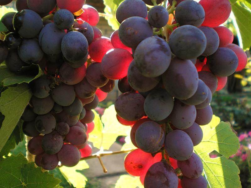 12 лучших сортов винограда для подмосковья