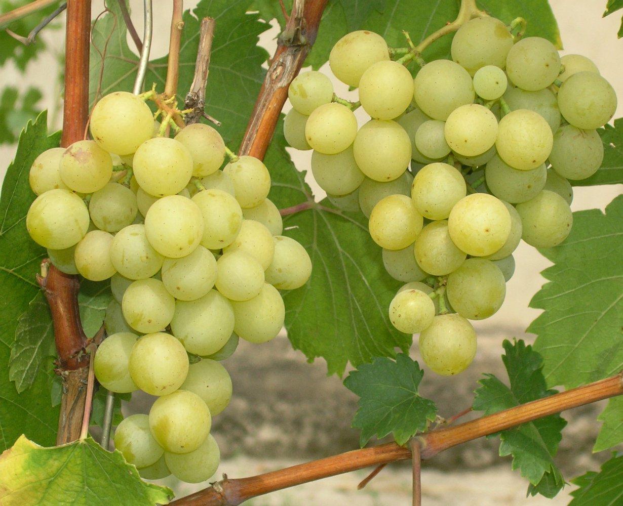 Виноград Галбена Ноу (Золотинка): описание сорта, уход