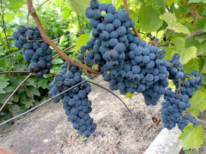 Левокумский виноград в подмосковье