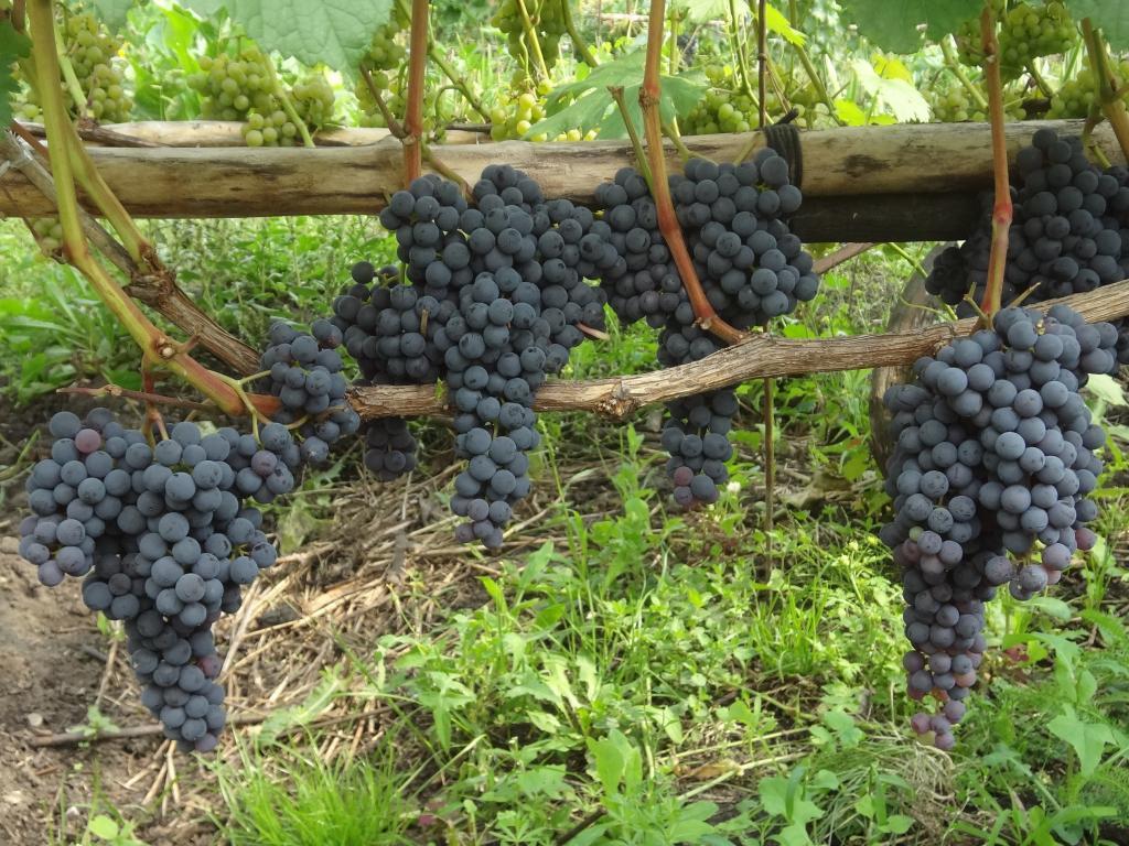 Виноград аттика описание сорта фото отзывы