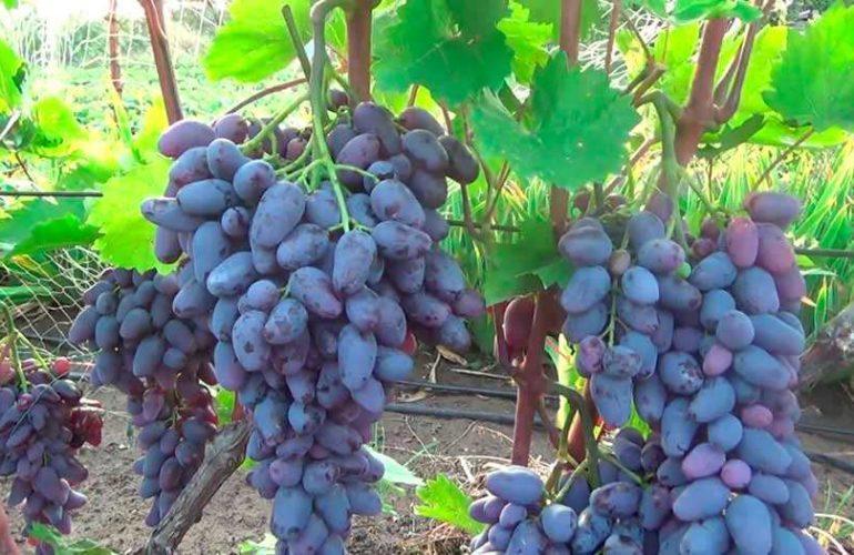 Виноград Памяти Негруля: описание сорта и характеристика, история и выращивание