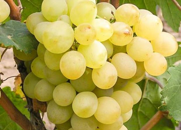 Описание сорта винограда восторг и его подвидов черного мускатного белого и красного