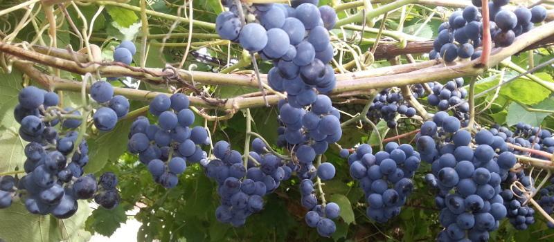 Как обрезать виноград осенью в ленинградской области