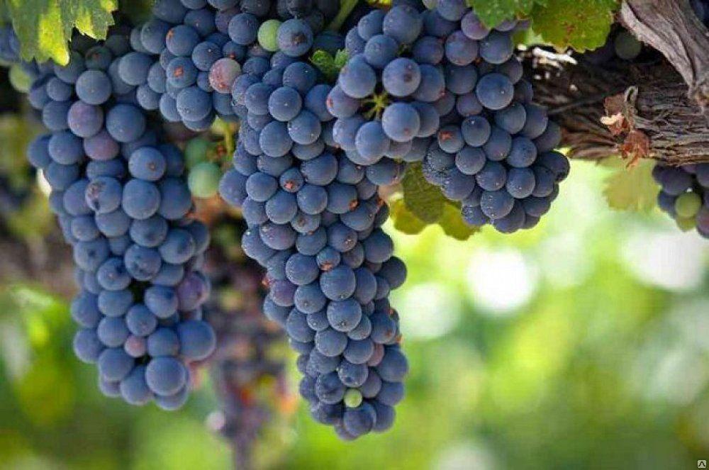 Сорта винограда для средней полосы России с фото и описанием
