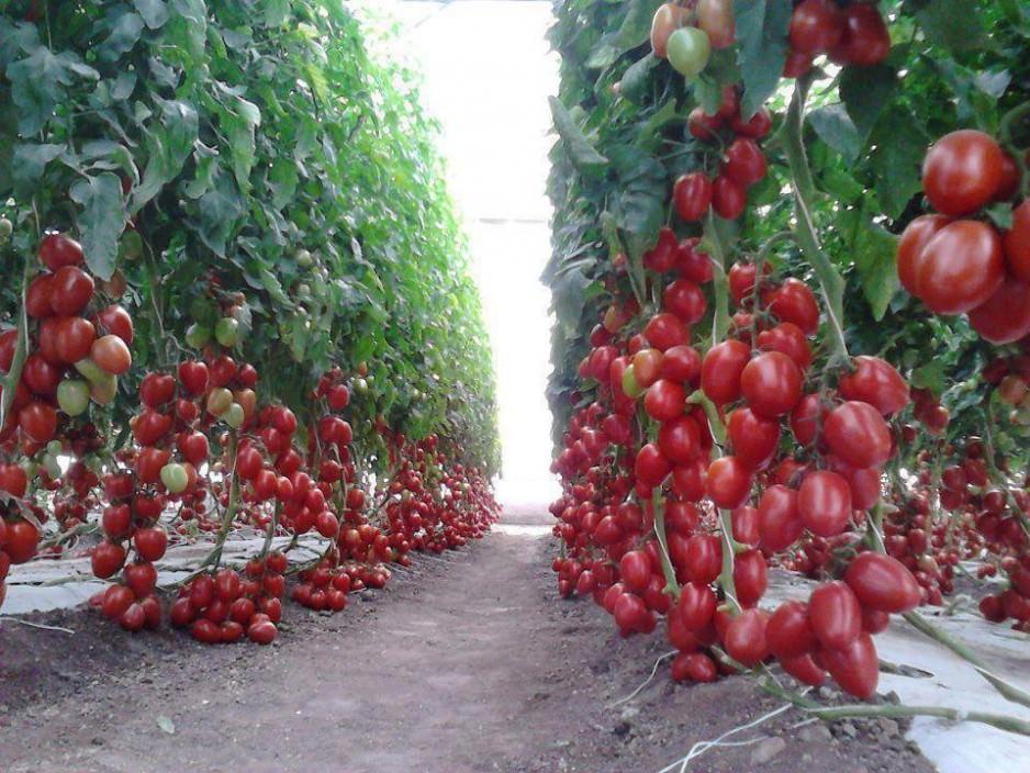 Описание сорта помидор Рапунцель