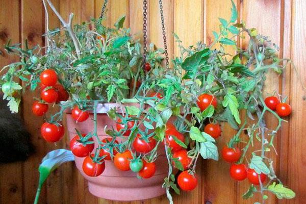 Томат Клюква в сахаре характеристика и описание сорта урожайность с фото