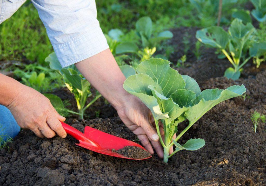 Как сажать капусту в открытый грунт уход схема