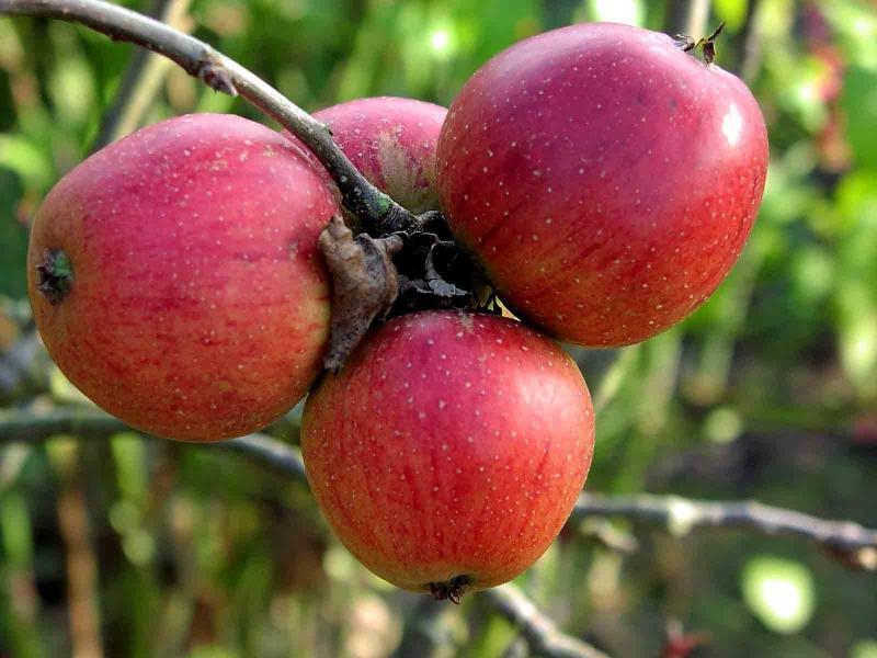 Сорт яблони орлик описание