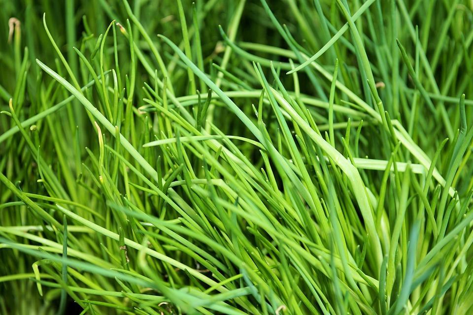 Как вырастить из лука зеленый лук