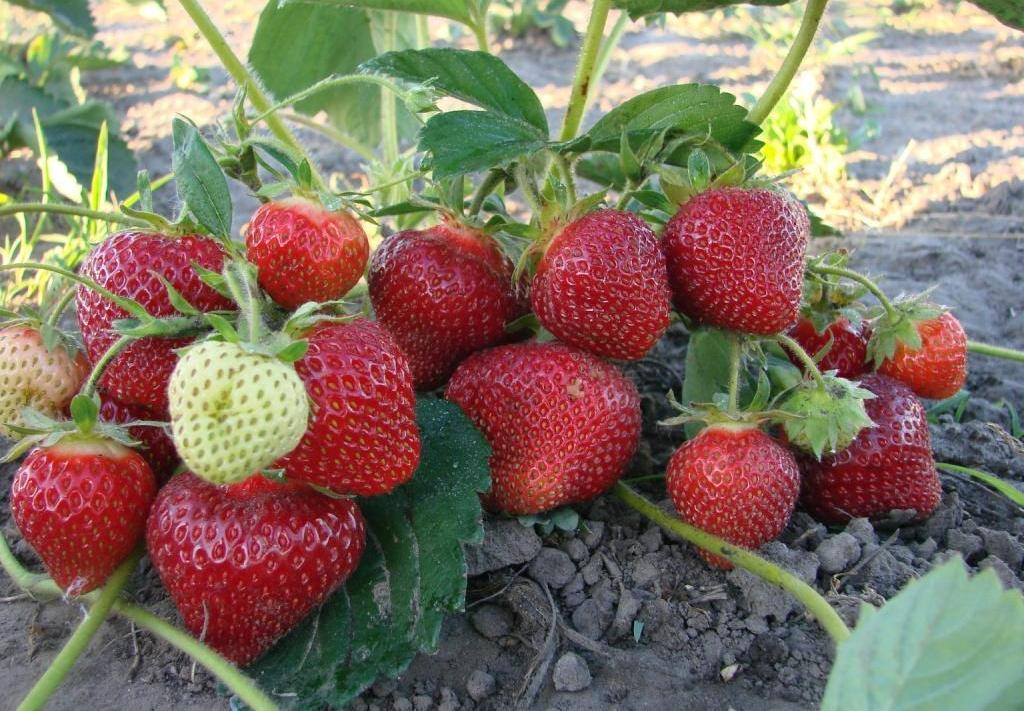 Клубника Альбион: особенности, выращивание, правильный уход и описание ремонтантного сорта