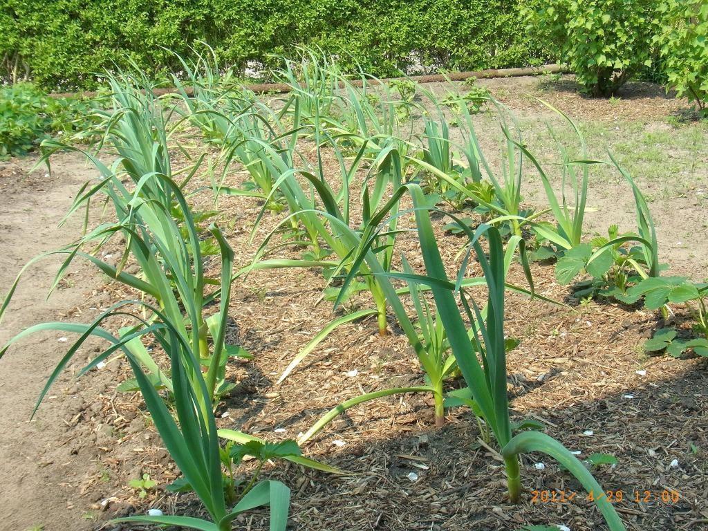 Средства от пожелтения перьев чеснока весной: чем полить и подкормить,