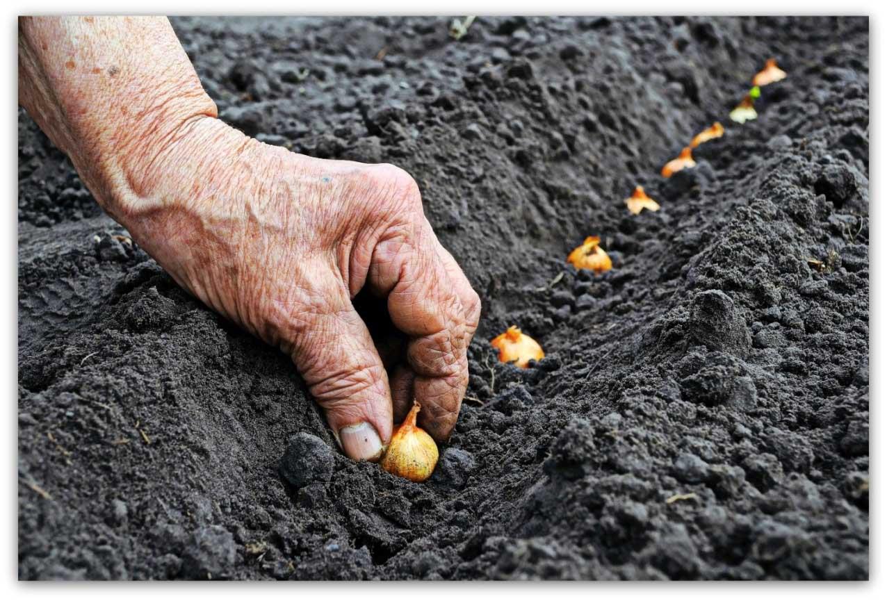 Нужно ли поливать лук при посадке осенью