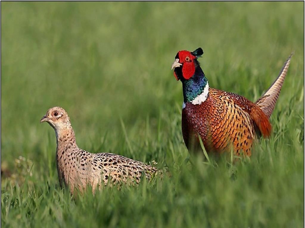 Как выглядит серебристый фазан
