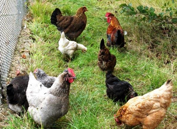 Болезни кур и их лечение заболевания печени у кур