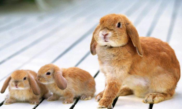 Отсадка и выращивание молодняка кроликов