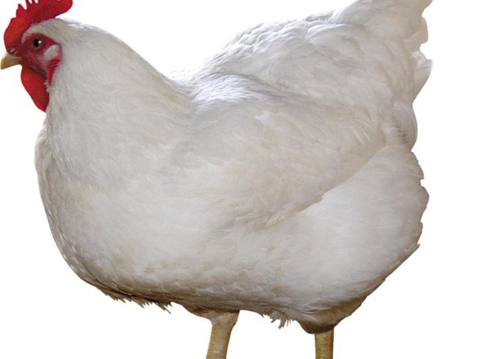 Как избавиться от куриного пероеда