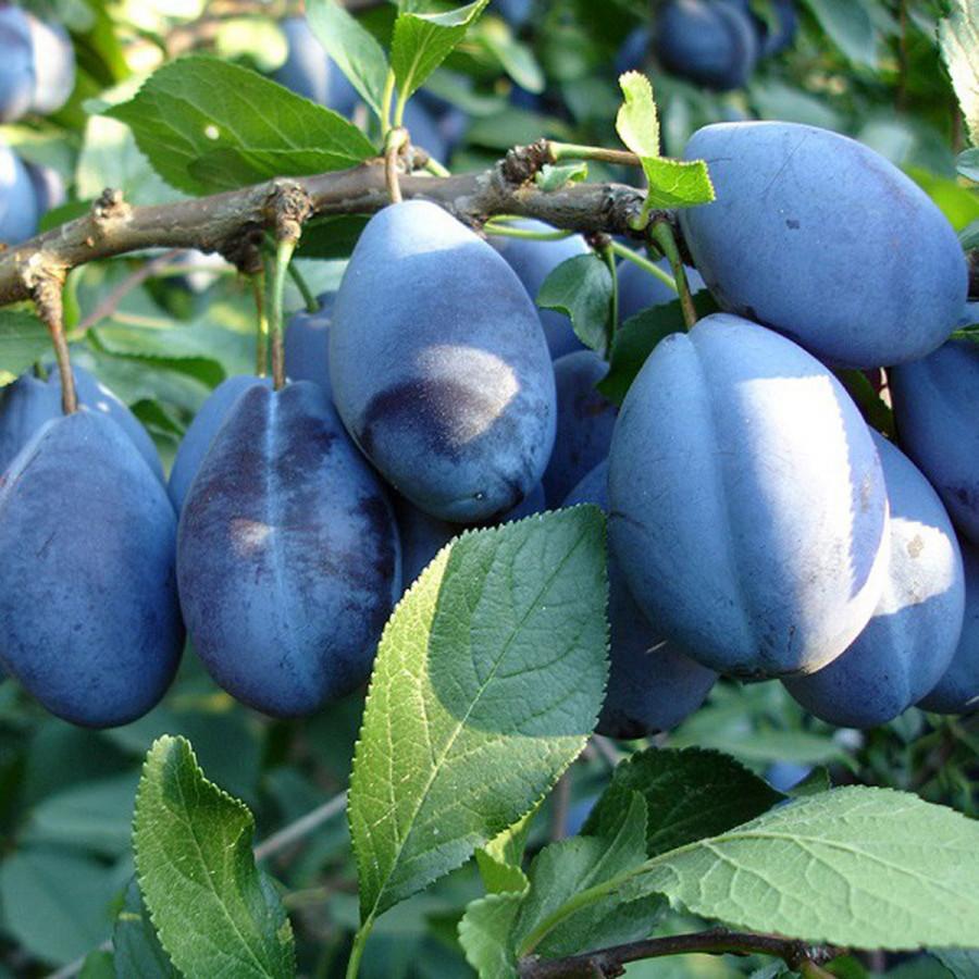 Слива Стенли описание преимущества и выращивание сорта