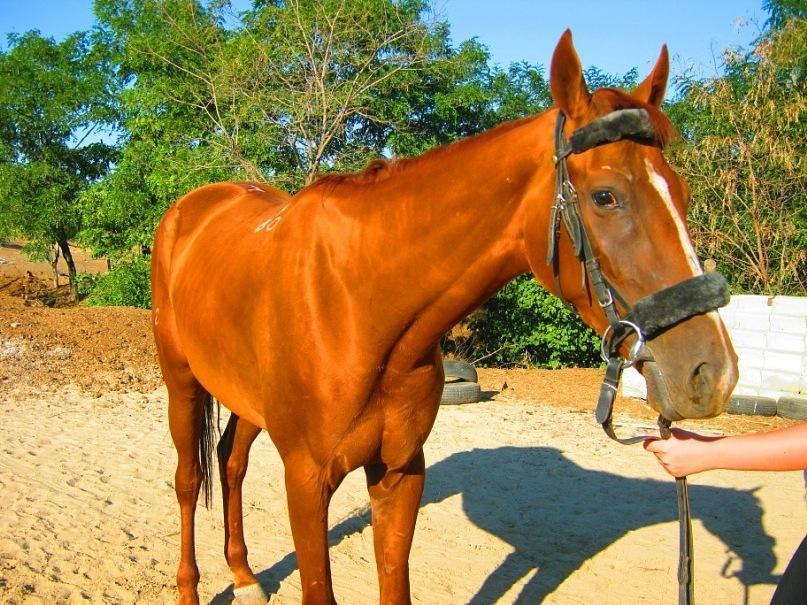 Описание караковой масти лошади
