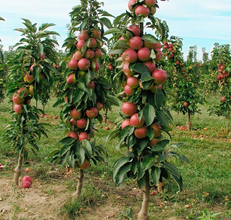Колоновидная яблоня сорта Элита описание и характеристики урожайность с фото