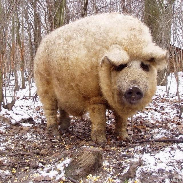 Свинья с шерстью овцы