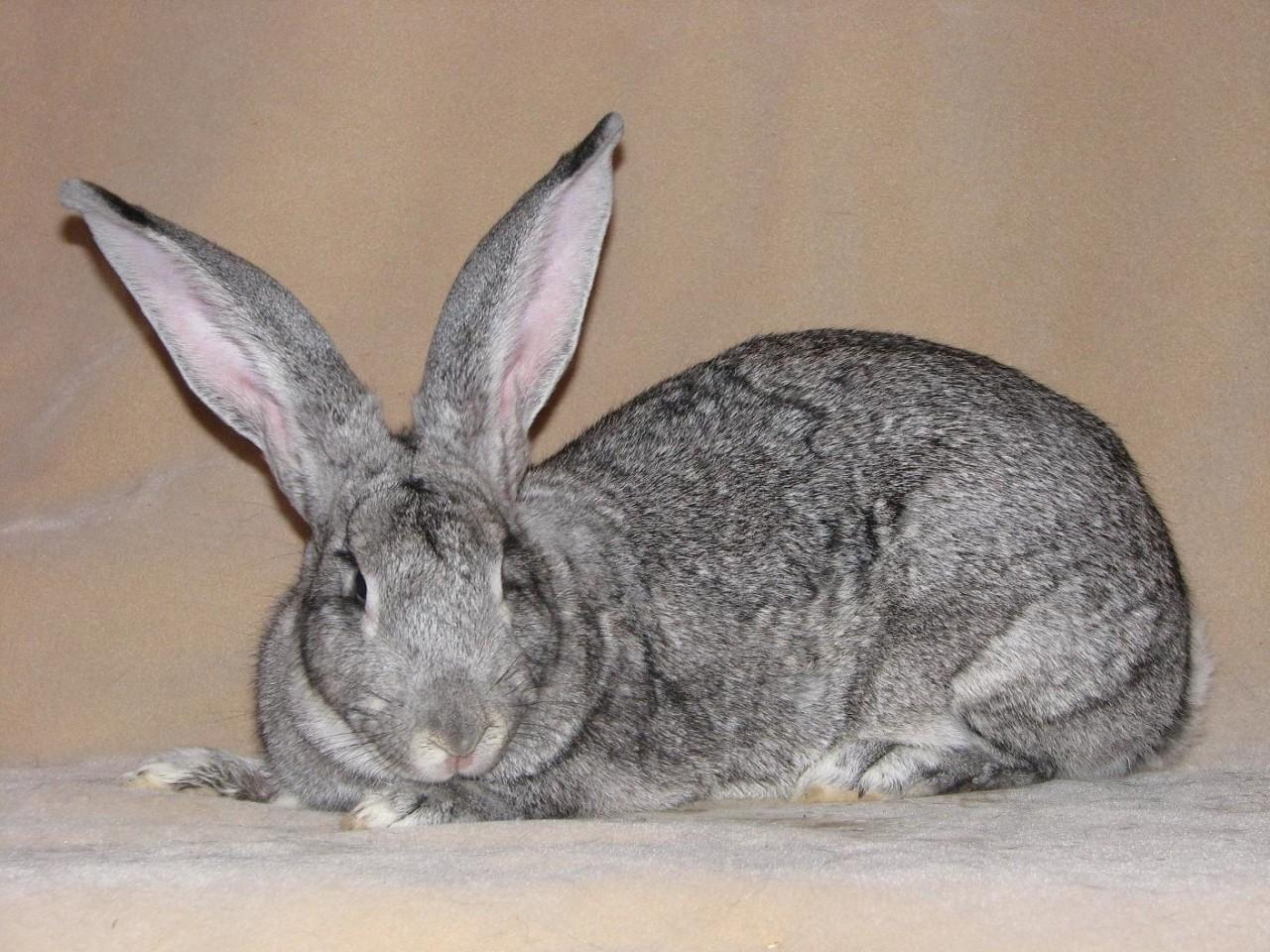 Сравнение пород кроликов