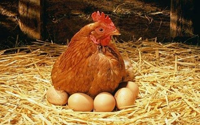 Как определить возраст кур возраст яйценоскости