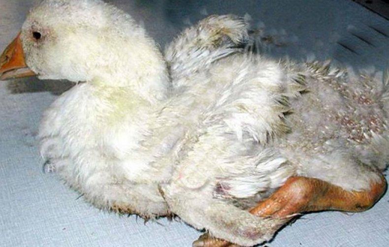 Причины того, что утки падают на ноги: как лечить, препараты для уток
