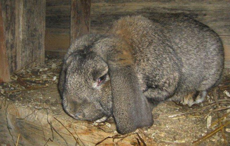 Болезни кроликов и их лечение заболевания кожи