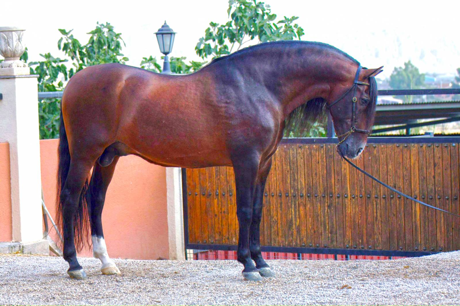 Как выглядит андалузская лошадь