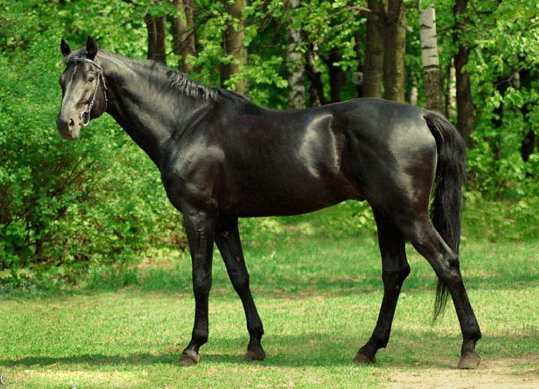 Английская чистокровная лошадь описание породы