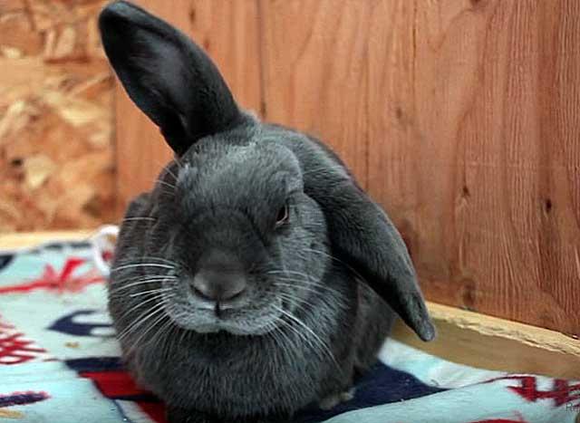 У кроликов ушная чесотка у