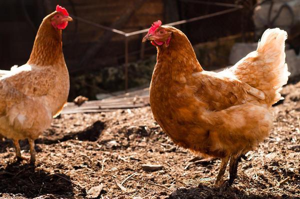 Когда цыплят можно переводить в общий курятник