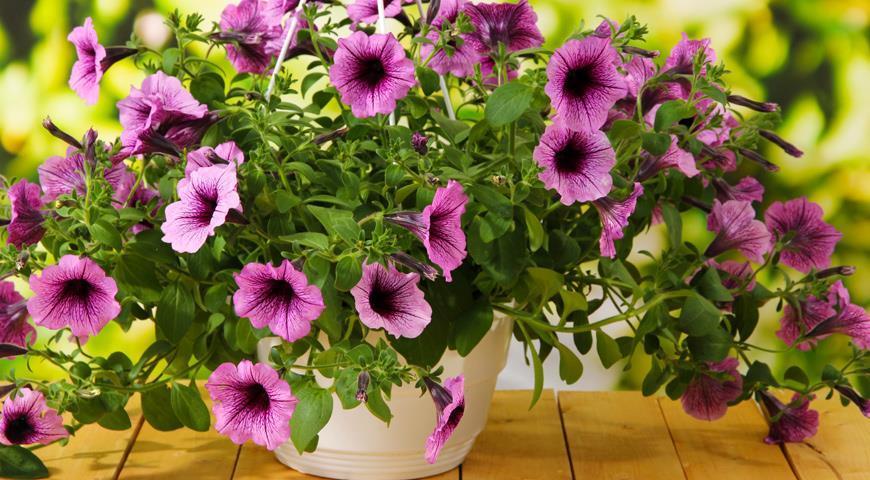 Как правильно ухаживать за петунией, чтобы создать неповторимую цветочную красоту? Самые эффективные действия и советы по уходу за петунией