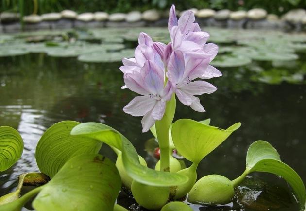 Водяной гиацинт выращивание эйхорнии в аквариуме и пруду