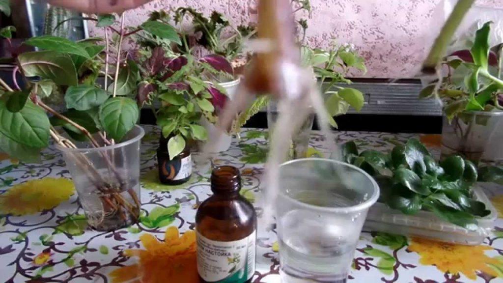 О черенковании петунии на зиму в домашних условиях: как сохранить до весны    Как сохранить петунию до весны в квартире
