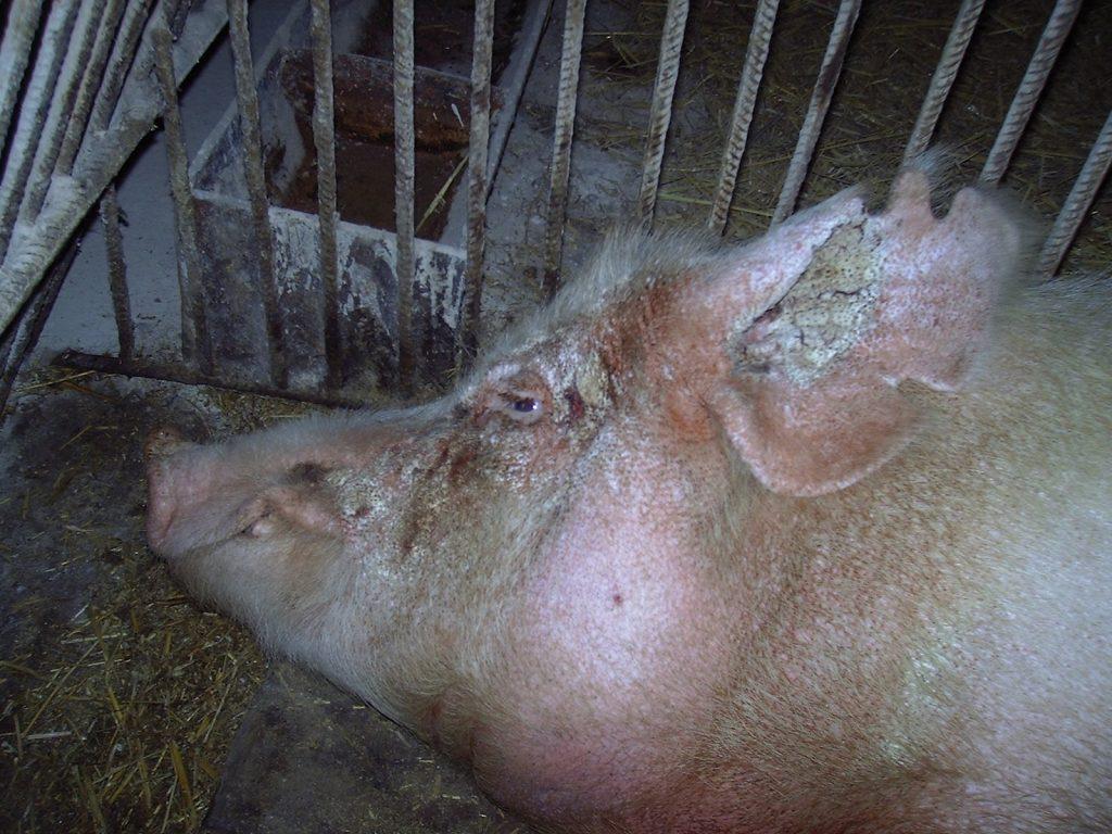 Чесотка у свиней лечение народными средствами
