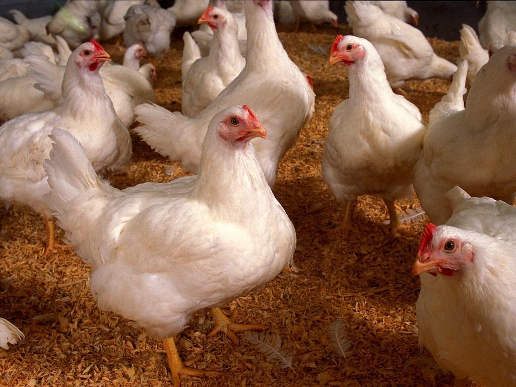 Температура для цыплят в первые дни жизни, режим для бройлеров