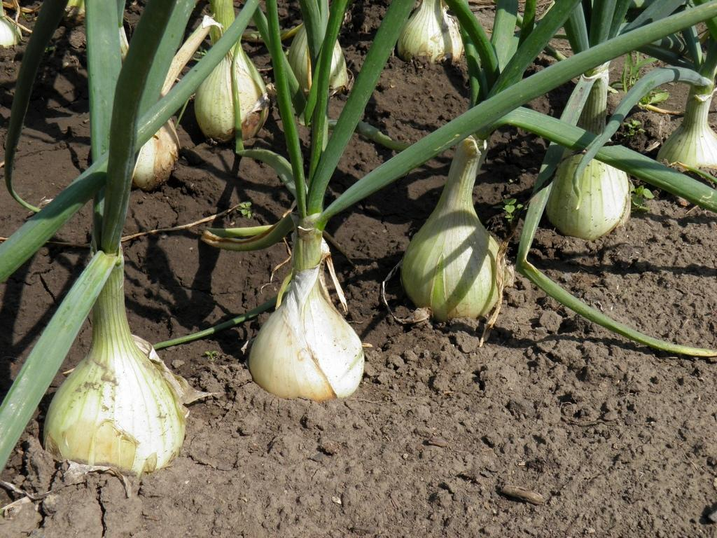 Совместимость посадки лука и чеснока