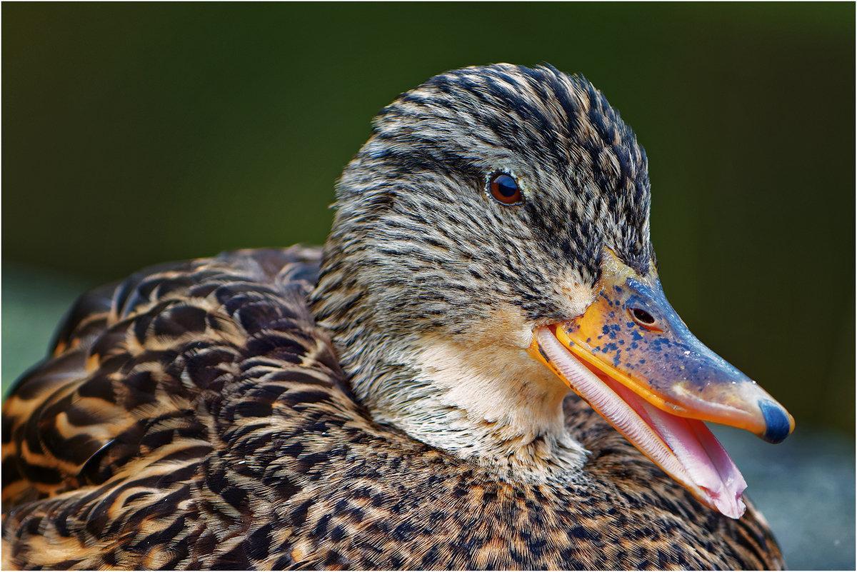 Дикая утка - виды, описание, содержание дома