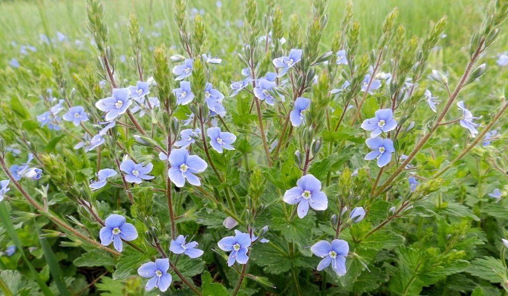 Цветок незабудка: описание, виды, особенности посадки