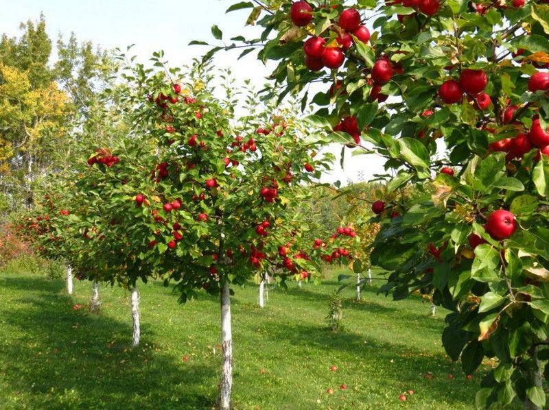 Посадка саженцев плодовых деревьев весной
