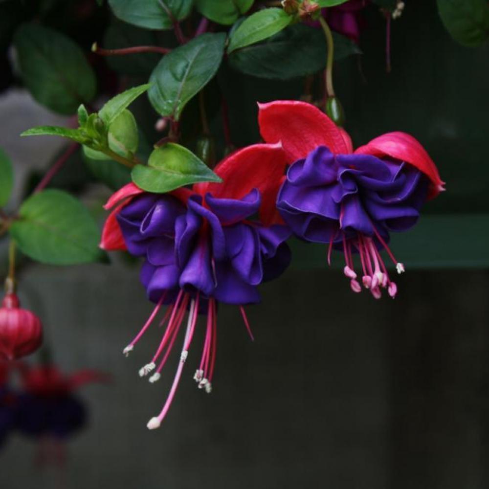 Фуксия: выращивание и уход в домашних условиях
