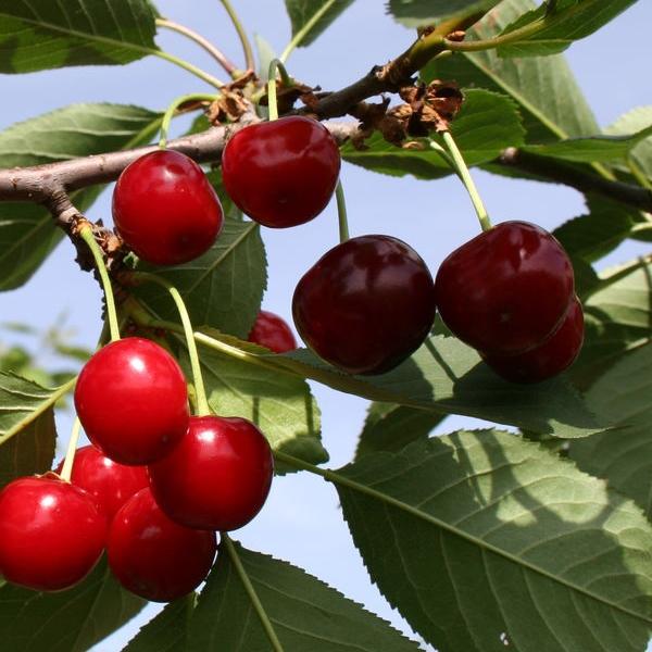 Гибрид вишни и сливы: описание и характеристика