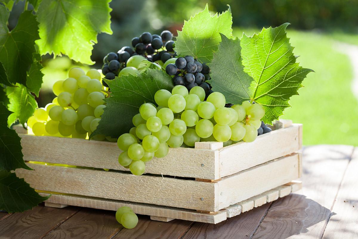 Виноградный плод это