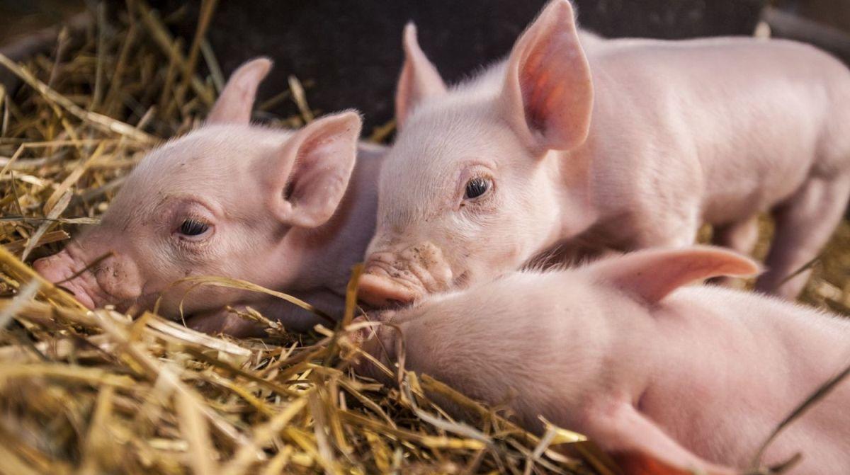 Альбен таблетки от глистов для свиней