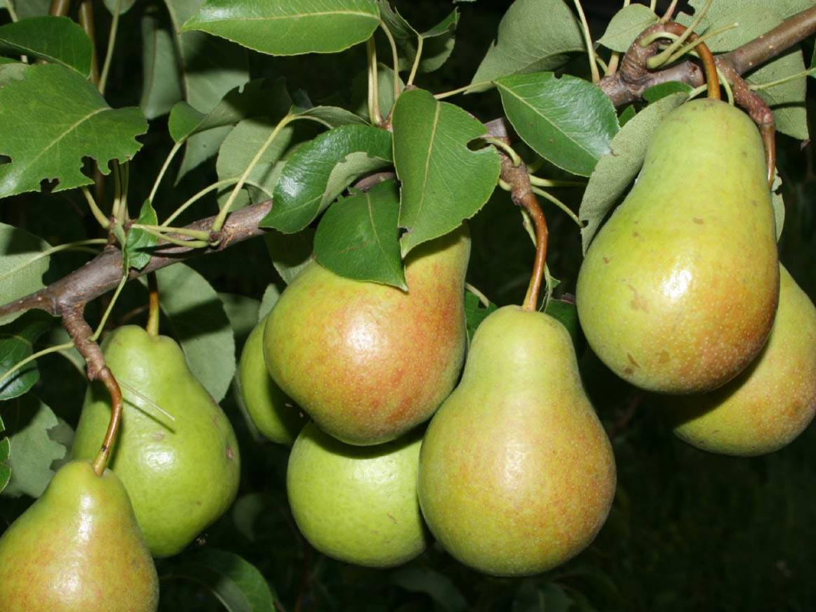 Сорта груши для Сибири вкусные зимостойкие: описание, посадка и уход