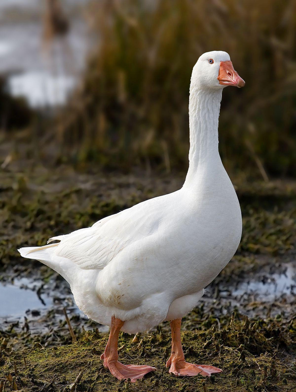 Отличие гусей от лебедей
